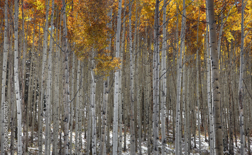 Fotobehang Berkenbos Tall Aspen trees in fall time