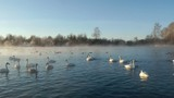 Swans Cygnus cygnus on altai lake Svetloe in the morning mist  at early morning