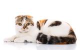 scottish fold cat lying sideways on a white background