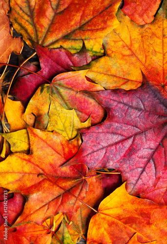 ..Autumn maple leaves background. Beautiful colourful maple leav - 121429733