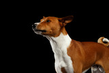Close-up Pedigree White with Red Basenji Dog Stare on Isolated Black Background, Profile view