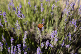 Butterfly on lavender - dalmatian flora and fauna