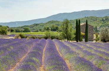 Champ de lavande dans le Luberon - Provence