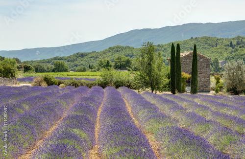 Poster Champ de lavande dans le Luberon - Provence