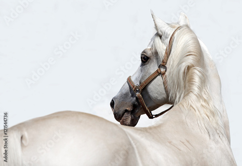 White race horse portrait on white background © horsemen