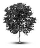 silhouette a tree silhouette Isolated on white background clippi