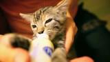 Small and beautiful kitten sucks milk from the bottle. Portrait