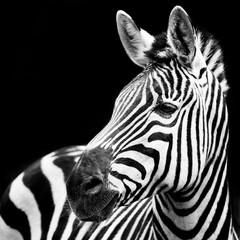 fototapeta zbliżenie zebra