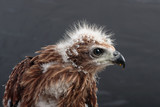 portrait of young eagle on black background