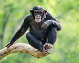 Fototapety Chimpanzee XXVI