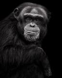 Chimpanzee XXVII