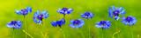 Blue cornflowers background.