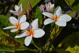 Plumeria.also known as dok champa or frangipani is a national flower of Laos plumeria symbolizes joy and sincerity in life.