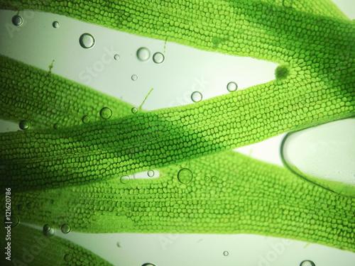 zoom microorganism algae - 121620786