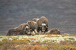Musk Ox Family Group