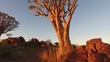 Close-up, tilting view of large a quiver tree (Aloe dichotoma) at sunset, Namibia, southern Africa