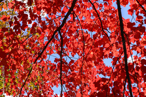 Maple Leaves and blue sky