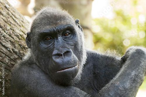 Poster Westlicher Flachlandgorilla, Gorilla gorilla gorilla
