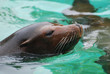 Great Face of a Sea Lion with Whiskers