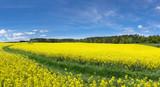 Gelb blühende Rapsfelder mit Wiesenweg nahe einem Waldrand