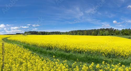 Keuken foto achterwand Geel Gelb blühende Rapsfelder mit Wiesenweg nahe einem Waldrand