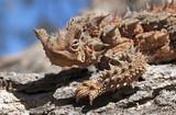 Australian thorny devil lizard
