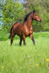 Bay stallion running on a summer meadow.
