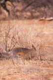 Dik-dik in Samburu National Park in Kenya