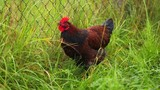 Rooster on green grass