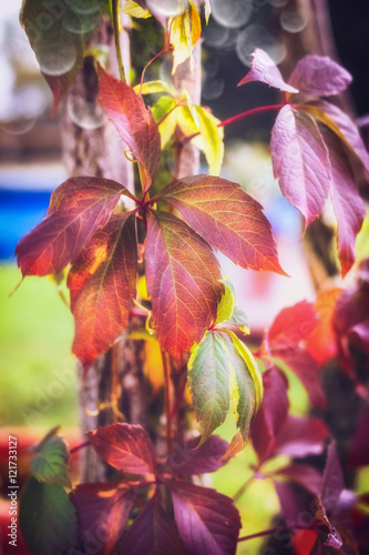 Beautiful red autumn leaves , outdoor, close up