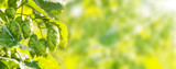 Hop plant, bokeh background - 121735170