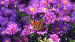 Leinwanddruck Bild - Astern im Herbst mit Schmetterling