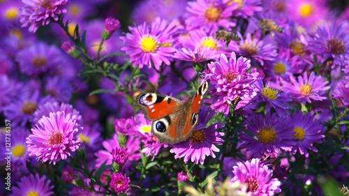 Leinwanddruck Bild Astern im Herbst mit Schmetterling