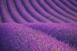 Lavender field  near Valensole.France