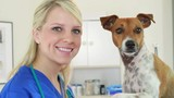 A pretty veterinarian playful interaction with terrier dog patient.