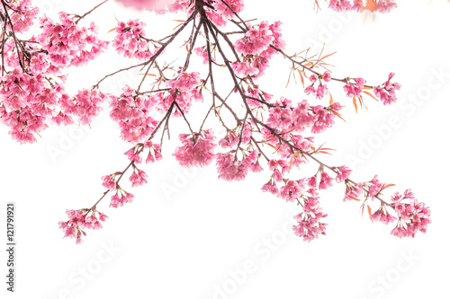 Poster cherry blossom isolated white background