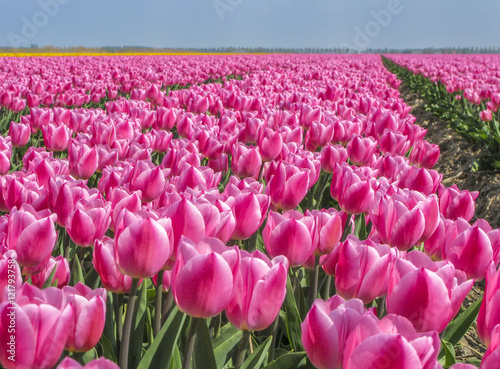 Foto op Plexiglas Roze Field with pink tulips