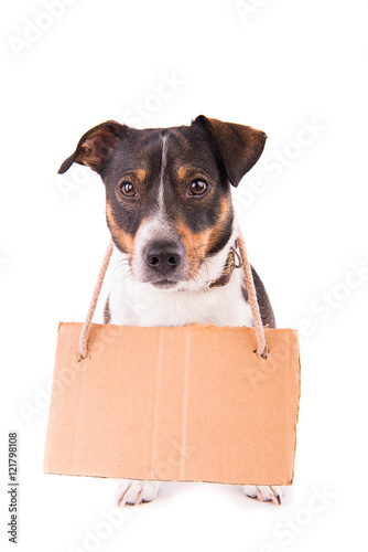 Jack Russell Terrier with a sign on a white background; Poster