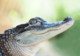 Closeup of a Young Alligator