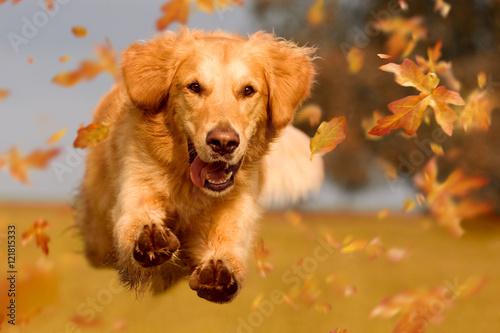 Poster Hund, Golden Retriever springt durch Herbstlaub