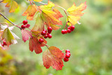 A branch of red viburnum.