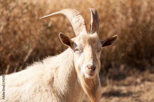 Poster Portrait of a Billy Goat