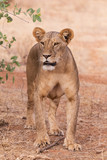 lioness in Samburu National Park Kenya