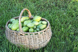 Green tomatoes in a wattled basket on on a grass in a garden