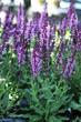 Meadow sage flower