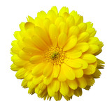 Flower,calendula blossoms yellow, with dew, white isolated background with clipping path. no shadows. Closeup with no shadows. Nature.