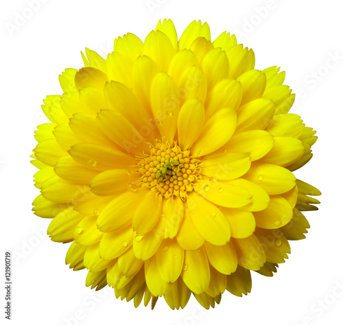Plexiglas Geel Flower,calendula blossoms yellow, with dew, white isolated background with clipping path. no shadows. Closeup with no shadows. Nature.
