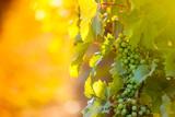 Vineyards at sunrise.