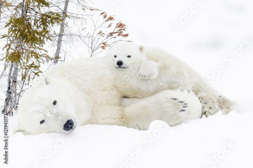 Aluminium Ijsbeer Polar bear mother (Ursus maritimus) with two cubs, Wapusk National Park, Manitoba, Canada