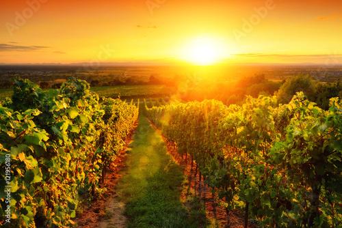 Canvas Oranje Weinberg im goldenen Licht bei Sonnenuntergang